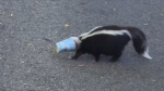 A skunk with a McFlurry cup stuck on its head was spotted in Kemptville, Ont. (Tina Christie)