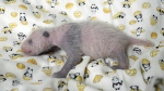 A 10-day giant panda cub is seen at Ueno Zoo in Tokyo on Thursday, June 22, 2017. (Tokyo Zoological Park Society)