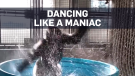 Friday feeling: Gorilla 'flashdances' in Texas