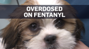 Fentanyl nearly kills seven-week-old B.C. puppy