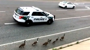 Extended: Geese get police escort