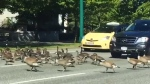 Extended: Gaggle of geese stops downtown traffic