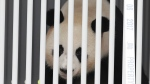 A container carrying the giant panda Jiao Qing is unloaded from a cargo plane after the arrival from China at the airport Schoenefeld near Berlin, Saturday, June 24, 2017. (AP Photo/Markus Schreiber)