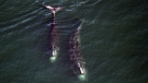 FILE -- In this Feb. 14, 2017 photo provided by the Center for Coastal Studies, a pair of right whales feed just below the surface of Cape Cod Bay off shore from Provincetown, Mass.  (Center for Coastal Studies via AP)