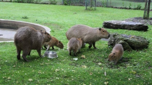 Bonnie and Clyde with their baby capybaras - Alex, Geddy and Neil, named after members of the Canadians band Rush. (High Park Zoo/Facebook)