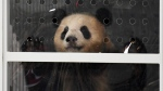 Giant panda Meng Meng looks out of its container after the arrival from China at the airport Schoenefeld near Berlin, Saturday, June 24, 2017. (Ralf Hirschberger/dpa via AP)