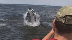 CTV News Channel: Humpback whale makes a splash