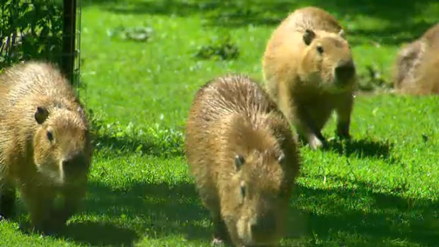 Toronto's new capybaras are seen in this photo.