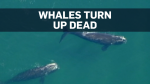 DFO investigating why whales dying off east coast