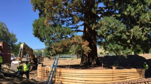 Workers build a burlap, plywood and steel-pipe structure to contain the rootball so they can move the roughly 100-foot sequoia tree in Boise, Idaho, Thursday, June 22, 2017. (AP Photo/Rebecca Boone)