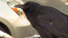 Canuck the crow, an East Vancouver bird that's famous for its mischievous antics, has halted mail delivery to the street it lives on by attacking a mail carrier. (CTV)