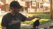 Canuck the crow attacks mail carrier