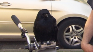 CTV National News: B.C. crow halts mail delivery