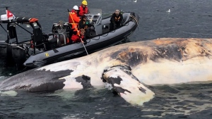 Researchers examine one of the six North Atlantic right whales that have died in the Gulf of St. Lawrence in a recent handout photo. (THE CANADIAN PRESS/HO- Marine Animal Response Society)