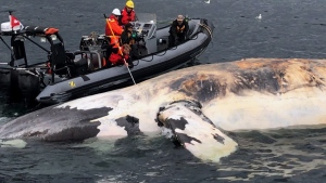 Researchers examine one of the six North Atlantic right whales that have died in the Gulf of St. Lawrence. (THE CANADIAN PRESS / HO- Marine Animal Response Society)