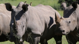 In this Wednesday, March 8, 2017 file photo, rhino are photographed at the Welgevonden Game Reserve in the Limpopo province, South Africa. (AP Photo/Renee Graham, File)