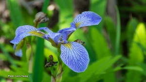 Wild Iris on the Jack Pine Trail. (Larry Young/CTV Viewer)