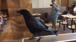 Canuck the crow was filmed Sunday trying to steal snacks off tables at the East Hastings Street eatery. (YouTube / IYAMRECORDING)