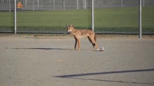 A coyote spooked parents outside Mary Jane Shannon Elementary School in Surrey, B.C. Monday. June 26, 2017. (CTV)