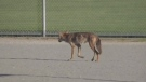 Reports of coyote pulling down 4-year-old girl
