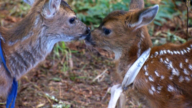 Staff at the Mountainaire Avian Rescue Society (MARS) in the Comox Valley are caring for 10 fawns removed from their mothers prematurely due to human intervention, as well as river otters rescued from Kye Bay and Nanaimo. June 27, 2017. (CTV Vancouver island)
