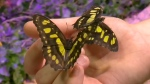 CTV Montreal: Visit butterflies at B-Fly