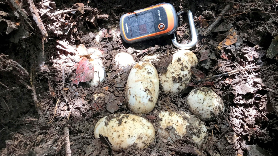 A hand-held GPS device lays next to the eggs of a Siamese Crocodile in Koh Kong, Cambodia, on June 26, 2017. (Wildlife Conservation Society via AP)