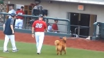 Jake the dog is a baseball team's new waterboy
