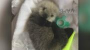 Newborn otter pup receiving round-the-clock care