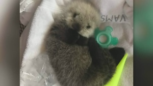 Newborn otter pup receiving round-the-clock care