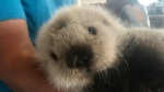 A male sea otter pup is seen in a Vancouver Aquarium photo. The pup was found swimming in open water off northern Vancouver Island on Sunday.