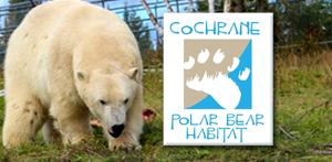 cochrane polar bear