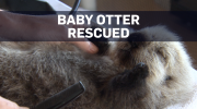 Newborn otter brought in by B.C. boaters