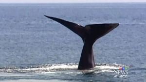 CTV Atlantic: Marine experts to examine dead whale