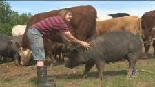 CTV Atlantic: Pigs turn up dead on Nova Scotia far