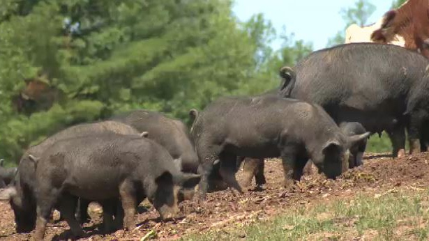 Moo Nay Farms is missing a litter of eight piglets and 40 chickens.