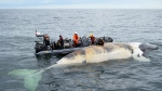 Researchers check out a dead right whale in the Gulf of St.Lawrence in a handout photo. (THE CANADIAN PRESS/HO-Department of Fisheries and Oceans)