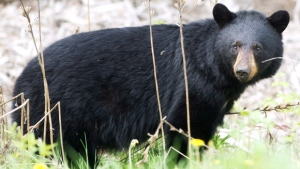 Bear sightings in Manitoba higher than last year in some