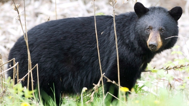 The province said people are encouraged to secure any attractants, such as garbage and bird feeders, in order to help keep the bears away. (File Image)