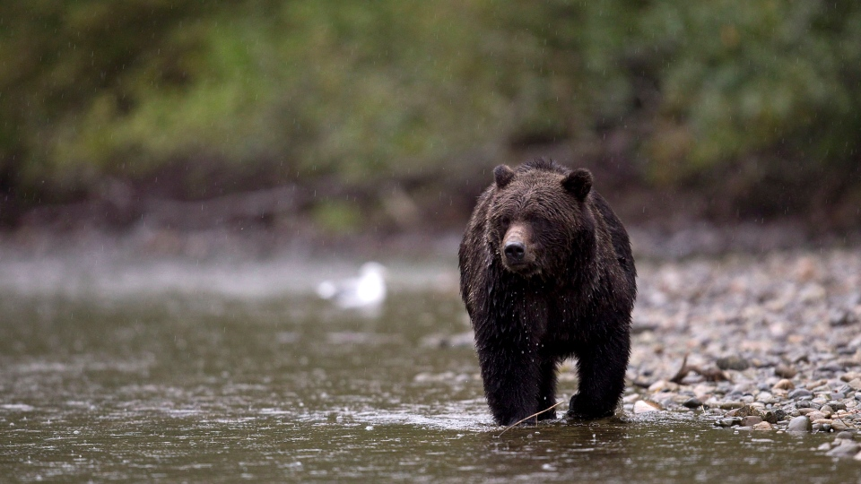 In this file photo, a grizzly bear is seen fishing for salmon along the Atnarko river in Tweedsmuir Provincial Park near Bella Coola, B.C. Saturday, Sept 11, 2010. (THE CANADIAN PRESS/Jonathan Hayward)