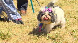 Dozens of canines of all breeds were enjoying the heat, a lot of them wearing colourful tutus, handkerchiefs and harnesses. July 2, 2017 (CTV Vancouver Island)