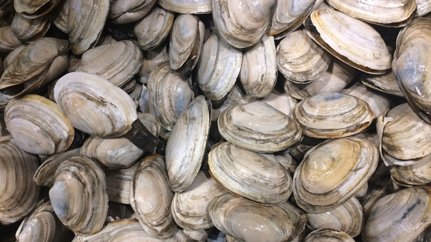 In this June 28, 2017 photo, local softshell clams are on display at a Portland, Maine, fish market. (AP Photo/Patrick Whittle)