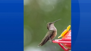 Cindy Garnett from Victoria Harbour NS shared this photo of a female ruby-throated hummingbird The little darling didn't seem to mind the rain one day in June.  Did you?
