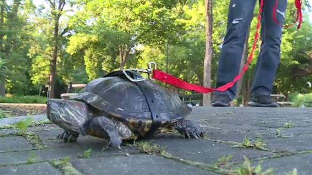 A Turtle Named Thunder Steals The Spotlight Ctv News