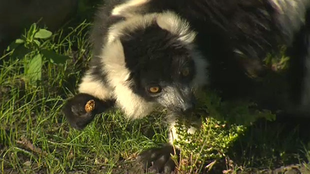 The facility is home to black-and-white ruffed lemurs, red fronted lemurs, and ring-tailed lemurs.