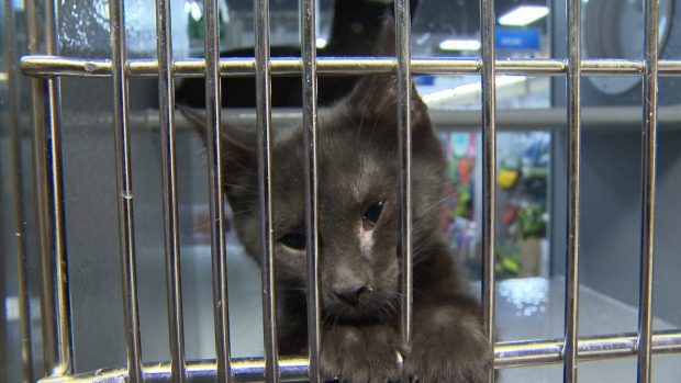 A convoy of cats desperately in need of forever homes are on their way from Prince Albert, Saskatchewan to Victoria. July 4, 2017 (CTV Vancouver Island)