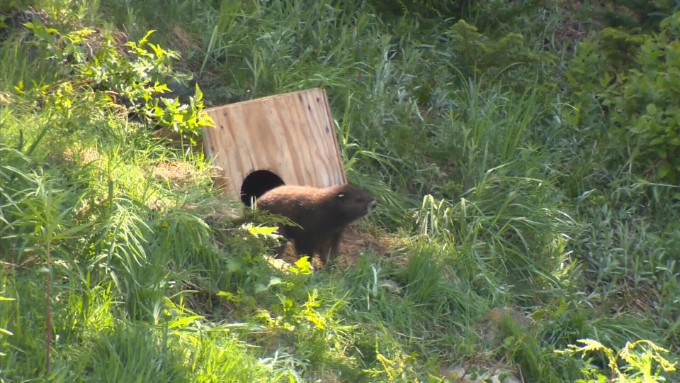 The 500th Vancouver Island marmot to be released into the wild was set free on Mount Washington. July 5, 2017 (CTV Vancouver Island)