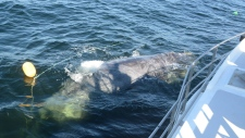right whale rescued