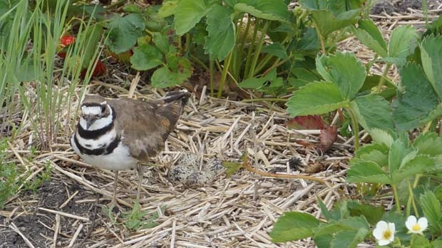 A killdeer protecting its nest in a strawberry farm. Photo by Zoe Ignacio.