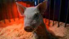 A two-week old piglet leaves the warmth of a red heating lamp in this file photo from Jan. 6, 2007. (AP / Carolyn Kaster)